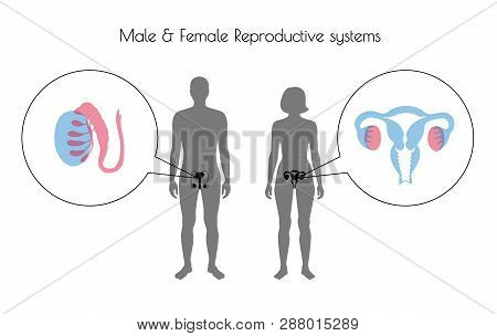 Vector Isolated Illustration Of Reproductive System In Woman And Man Silhouette. Isolated Black Uter