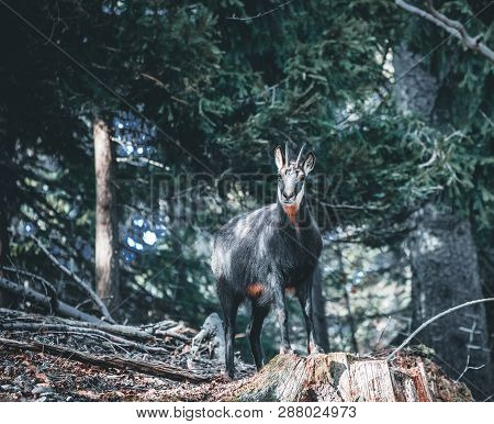Chamois, Rupicapra Rupicapra, On The Rocky Hill With Autumn Grass, Mountain. Wildlife Scene In Natur