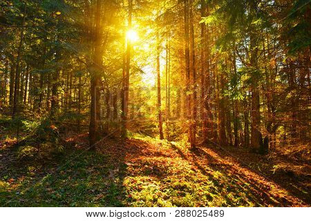 Forest. View Of Conifer Forest With Sunbeams In Autumn