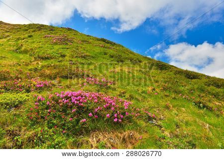 Rhododendron. Flowering Pink Rhododendron In Summer Mountains