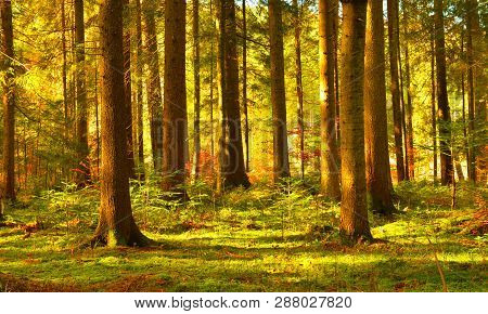 Forest. Landscape With Conifer Forest In Sunny Day