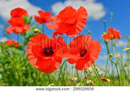 Group Of Wild Red Poppies In Summer Lea