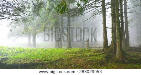Panoramic Evergreen Conifer Forest In Misty Spring