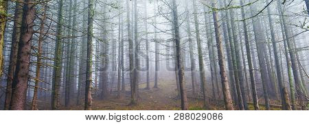 Panoramic View Of Conifer Forest In Highland