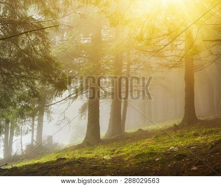 View Of Evergreen Conifer Forest In Misty Spring