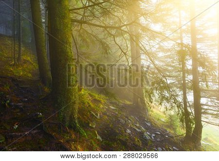 View Of Conifer Forest In Misty Spring