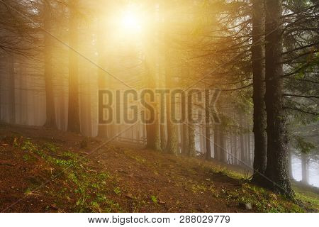 Conifer Forest With Sunlight In Misty Spring