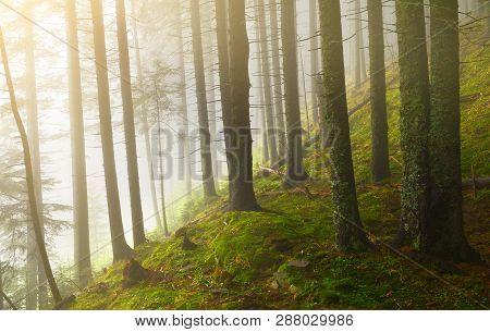 Landscape Of Misty Conifer Forest In Spring