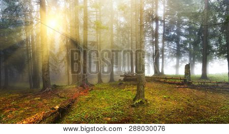 Landscape Of Conifer Forest With Sunbeams In Misty Spring