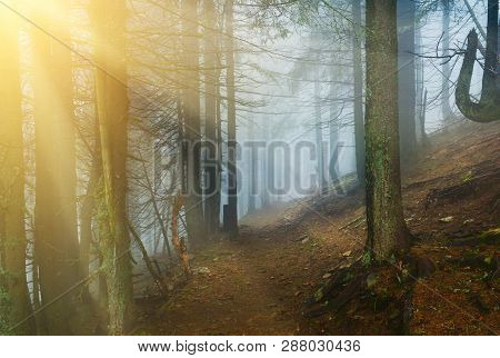Conifer Forest With Sunrays In Misty Weather