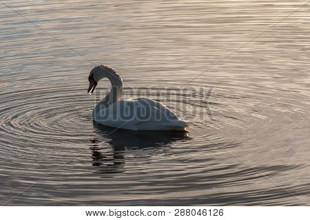 Graceful And Beautiful Mute Swan Swimming In Absolutely Calm Water In The Evening At The Swedish Isl