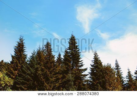 Tops Of Firs On The Blue Sky. Crowns Of Trees. Conifer