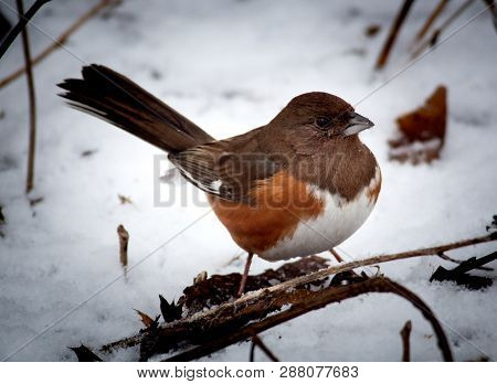 Winter Season Eastern Towhee Perched On A Branch