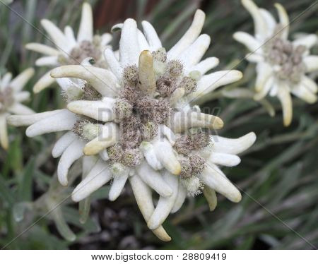 Group of Edelweiss (Leontopodium alpinum)