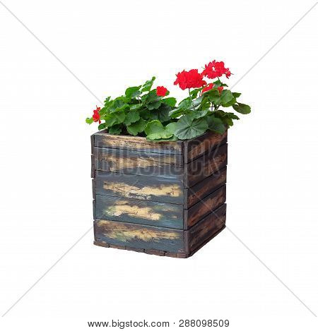 Pot With Bush Of Blooming Plant For Landscape Design. Geranium. Bush With Red Flowers In Wooden Flow