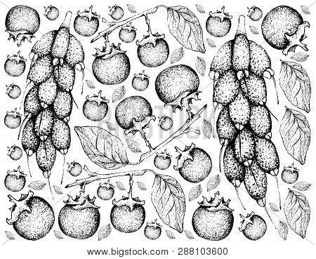 Tropical Fruit, Illustration Background Of Hand Drawn Sketch Ripe And Sweet Ebony Or Diospyros Rhodo