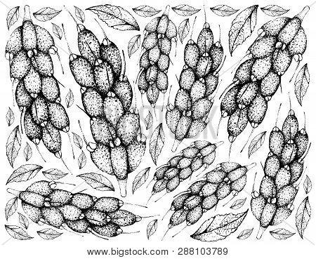Tropical Fruit, Illustration Hand Drawn Sketch Of Barringtonia Edulis Fruits Isolated On White Backg