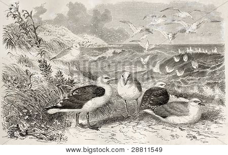 Great Black-backed Gull old illustration (Larus marinus). Created by Kretschmer and Illner, published on Merveilles de la Nature, Bailliere et fils, Paris, ca. 1878