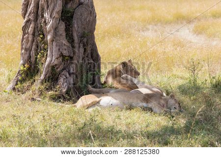 A trio of lionesses rest in the shade of a tree in the Masai Mara, Kenya. Lions conserve enegy in the heat of the day.