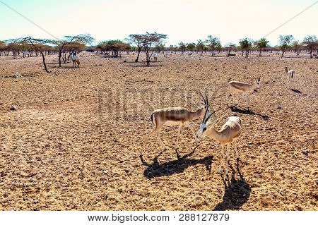 Antelope group in a safari park on the island of Sir Bani Yas, United Arab Emirates poster
