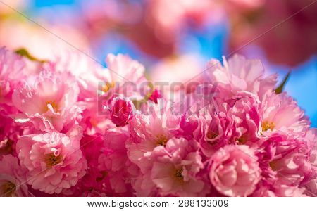 Cherry Blossom. Sacura Cherry-tree. Flowers In Blooming With Sunrise Background. Spring Cherry Bloss