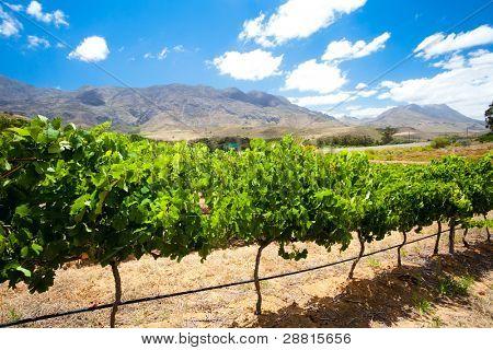 Виноградники в остров Цивили