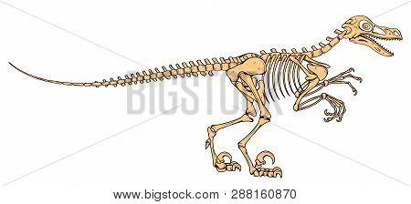 Velociraptor Skeleton, Velociraptor Fossil, Velociraptor Bones, Fossil Dinosaur, Vector Graphic To D