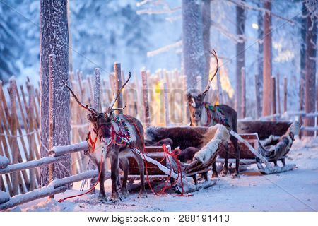 Reindeer With Sledge In Winter Forest In Rovaniemi, Lapland, Finland