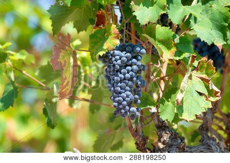 French Red  Aoc Wine Grapes Plant, New Harvest Of Wine Grape In France, Vaucluse, Gigondas Domain Or