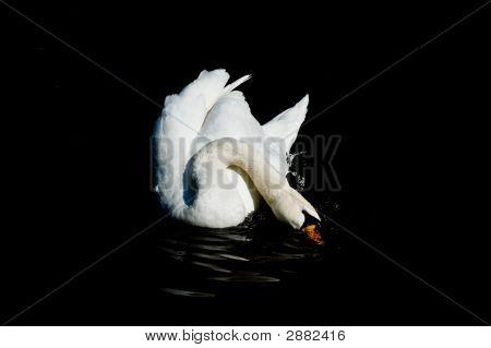 Washing Swan