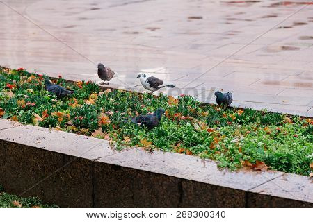 Our feathered friends. Gray pigeons on green grass. Pigeon birds on lawn in summer. Flock of feral pigeons. Rock doves. Dove bird is symbol of peace poster