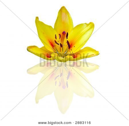 Yellow Lily With Reflection