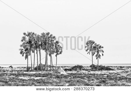 A Cluster Of Makalani Palm Trees, Hyphaene Petersiana, At Fischers Pan In Northern Namibia. Monochro