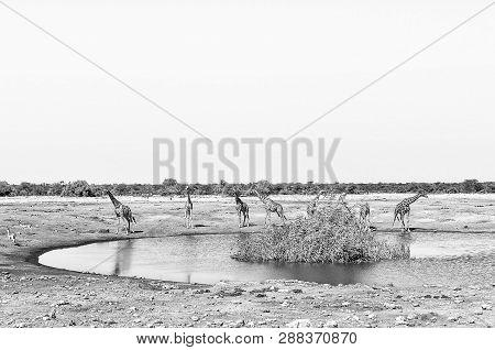 Seven Namibian Giraffes, Giraffa Camelopardalis Angolensis, At A Waterhole In Northern Namibia. Mono