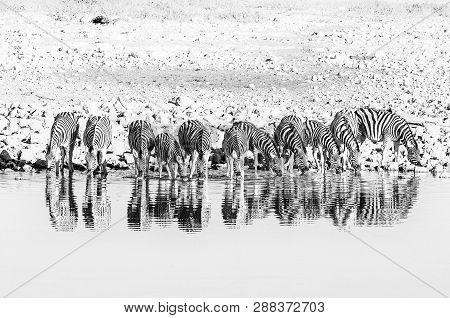Burchells Zebras, Equus Quagga Burchellii, With Their Reflections Visible, Drinking At A Waterhole.