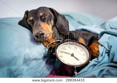 Black And Tan Dog Breed Dachshund Sleep In Bed With  Alarm Clock. Live With Schedule, Time To Wake U