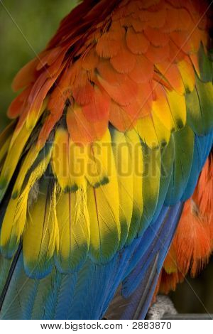 Scarlet Macaw Feathers Close Up