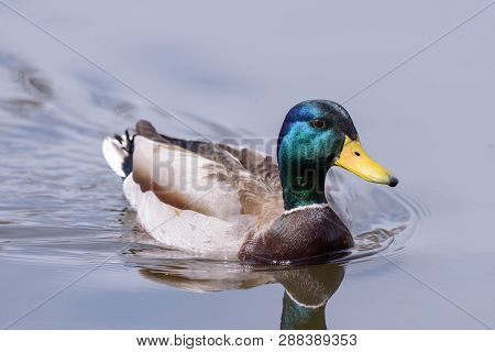 Mallard Drake Swimming In Calm Water With Wake And Reflection