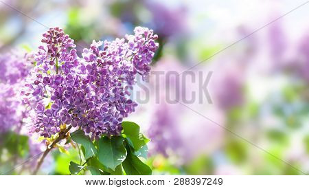 Springtime Landscape With Bunch Of Violet Flowers. Blossoming Syringa Lilac Bush. Blooming Plant On