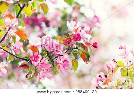 Soft Gentle Spring Garden Landscape. Pink Petals Blossoming Tree Branch Close-up, Springtime Warm Su