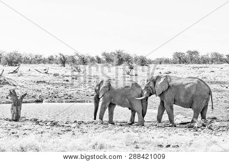 Elephant Behavior - An African Elephant, Loxodonta Africana, Pushing With Its Trunk Against Another
