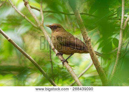Clay-colored Thrush - Turdus Grayi Common Middle American Bird Of The Thrush Family (turdidae), Nati