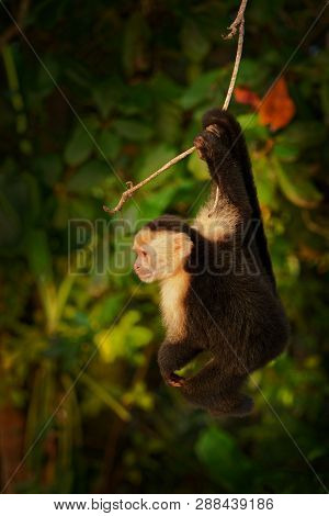 Colombian White-faced Capuchin (cebus Capucinus), Colombian White-headed Capuchin Or Colombian White
