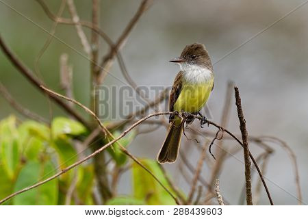 Dusky-capped Flycatcher - Myiarchus Tuberculifer  Passerine Yellow, White And Brown Bird In The Tyra