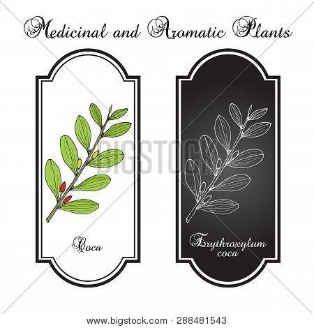 Erythroxylum coca. Hand drawn botanical vector illustration poster