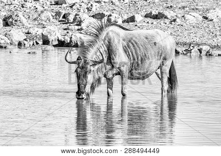 A Blue Wildebeest, Connochaetes Taurinus, Also Called A White-bearded Wildebeest Or Brindled Gnu, Dr