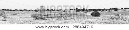 A Large Herd Of Burchells Zebras, Equus Quagga Burchellii, Drinking Water At A Waterhole In Northern