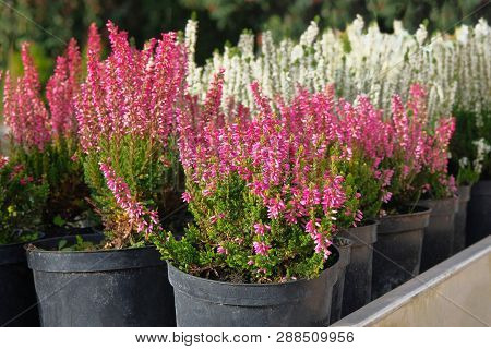 Seedlings Of Pink And White Heather Bushes In Pots In Garden Store. Nursery Of Various Green Plants