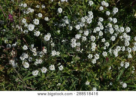Close-up Of Sweet Alyssum Flowers, Lobularia Maritima, Nature, Macro