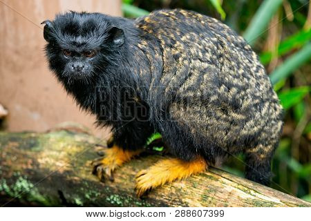 Golden Handed Tamarin. Tamarin Saguinus Midas Sitting On Branch.